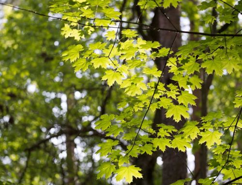The Maple Sap Run – Springtime is Coming!